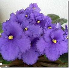 grow-african-violets-seed-800x800
