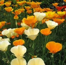 growcaliforniapoppies800x800.jpg