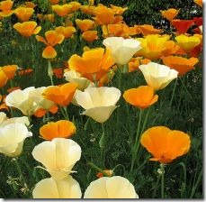 grow-california-poppies-800x800