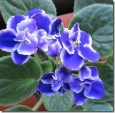 grow-care-african-violet_-overview-800x800