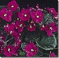 grow-care-african-violets-800x800