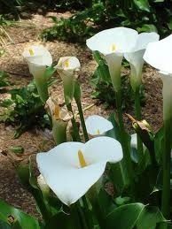How to Grow Calla Lilies Inside