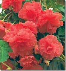 how to keep begonias over winter