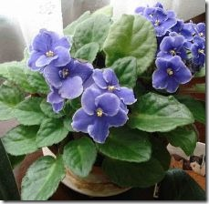 keep-african-violets-blooming-800x800