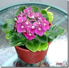 obtain-blooms-african-violets-800x800