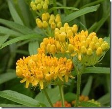 plant-butterfly-weed-seeds-800x800