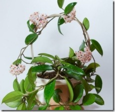 plant-hoya-cuttings-800x800