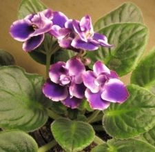 How to Protect an African Violet from Insects and Pests