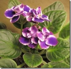 protect-african-violet-insects-pests-800x800
