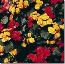 rieger-begonias-tuber-bulb-800x800