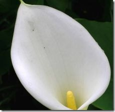 storing-calla-lily-bulbs-800x800
