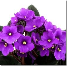 take-care-african-violets-800x800