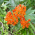 Tips on Growing Butterfly Weed From Seed