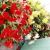 Can Tuberous Begonias Be Saved Over Winter?