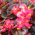 How to Plant Rex Begonia