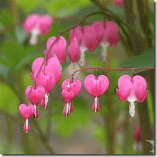 Companion plants for bleeding hearts bleeding heart dicentra spectabilis is a woody perennial with deeply lobed leaves and unmistakable pink and white heart shaped flowers mightylinksfo
