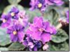types-african-violets-1.1-800x800