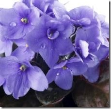watering-instructions-african-violet-plants-800x800