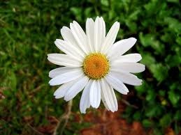 How to Divide Shasta Daisy Plants