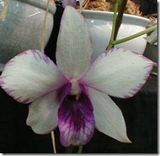 article-page-main_ehow_images_a04_qn_gm_care-dendrobium-orchids-800x800