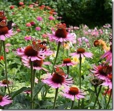 article-page-main_ehow_images_a04_s8_it_plant-purple-coneflowers-800x800
