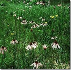 article-page-main_ehow_images_a04_um_5s_purple-coneflower-seedling-identification-800x800
