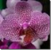 article-page-main_ehow_images_a05_5k_ge_types-dendrobium-orchid-800x800