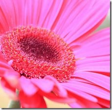 article-page-main_ehow_images_a05_h4_23_planted-lifespan-gerbera-daisies-800x800 (1)