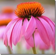 article-page-main_ehow_images_a06_7h_b5_purple-coneflower-habitat-800x800
