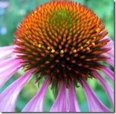 article-page-main_ehow_images_a06_af_7i_coneflower-disease-800x800