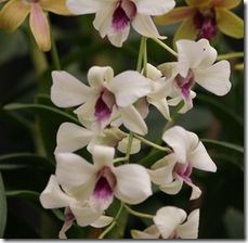 article-page-main_ehow_images_a06_e8_os_care-cut-dendrobium-orchids-800x800