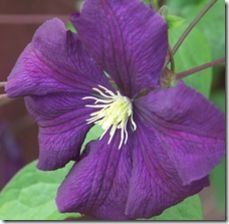 article-page-main_ehow_images_a06_us_50_clematis-flowering-vines_-800x800