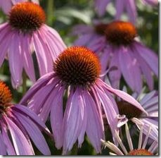 article-page-main_ehow_images_a07_1n_10_purple-coneflower-leaves-poisonous-animals_-800x800