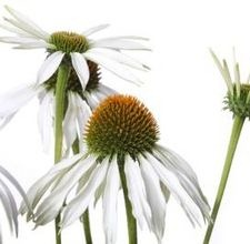articlepagemain_ehow_images_a07_1t_cm_dyeconeflower800x800.jpg