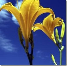 article-page-main_ehow_images_a07_7v_s8_daylilies-raised-800x800