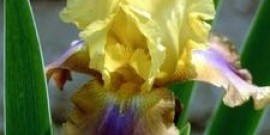 articlepagemain_ehow_images_a07_9k_3u_plantdivideirises800x800.jpg