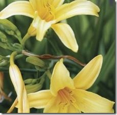 article-page-main_ehow_images_a07_9n_3d_can-daylilies-planted-containers-800x800