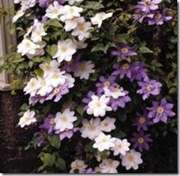 article-page-main_ehow_images_a07_b8_hh_type-clematis-likes-shade-800x800