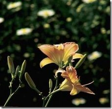 article-page-main_ehow_images_a07_fm_im_divide-daylilies-fall-800x800