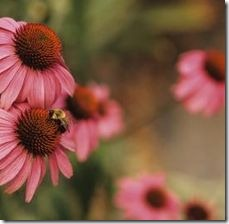 article-page-main_ehow_images_a07_i1_p6_eastern-coneflower-compound-simple-leaves-800x800