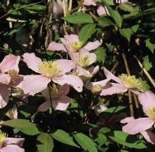 articlepagemain_ehow_images_a07_i5_h6_hidebottomclematis800x800.jpg