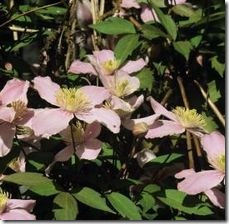article-page-main_ehow_images_a07_i5_h6_hide-bottom-clematis-800x800