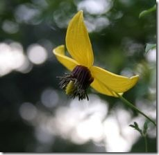 article-page-main_ehow_images_a07_ip_ei_growing-information-clematis-tangutica-800x800