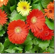 article-page-main_ehow_images_a07_is_ue_plant-gerbera-daisies-800x800