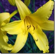 article-page-main_ehow_images_a07_iv_v6_daylilies-not-blooming-800x800