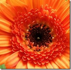 article-page-main_ehow_images_a07_j8_h3_plant-gerbera-daisies-800x800