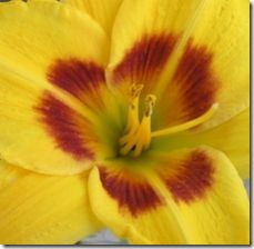 article-page-main_ehow_images_a07_jf_u8_fertilize-daylilies-800x800