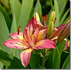 article-page-main_ehow_images_a07_ju_ds_can-daylilies-moved-january-800x800