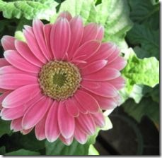 article-page-main_ehow_images_a07_k1_fd_gerbera-daisy-plant-800x800