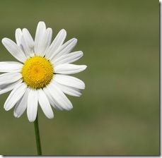 article-page-main_ehow_images_a07_k4_lo_plant-shasta-daisy-800x800